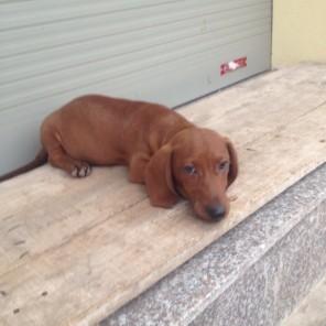 Duchshund – Lạp xưởng