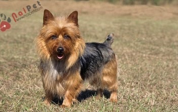 Australian Terrier,cho-suc-uc-1
