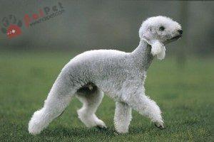 Bedlington-Terrier-7
