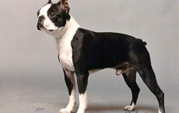 Boston-Terrier-6