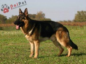 German-Shepherd-1