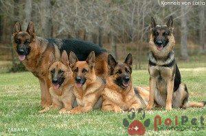 German-Shepherd-2