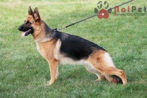 German-Shepherd-4