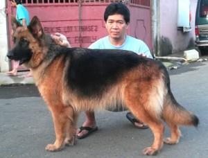 German-Shepherd-5