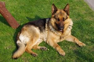 German-Shepherd-6