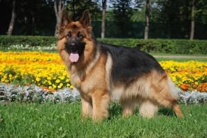 German-Shepherd-8