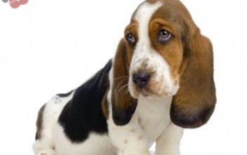 basset-hound-howard-2