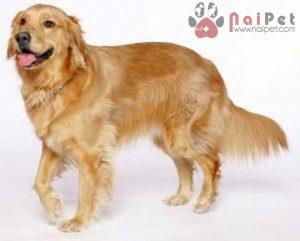 cac-giong-cho-thong-minh-Golden-Retriever-Dog