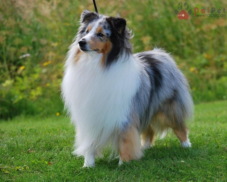 cac-giong-cho-thong-minh-shetland_sheepdog