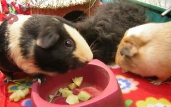 nguyen-nhan-dan-den-chung-bieng-an-o-chuot-guinea-pigs-940x705-400x300