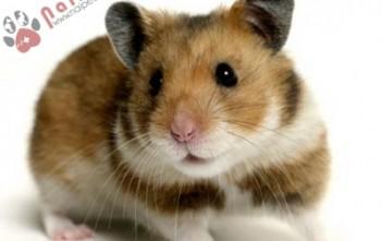 nhung-thong-diep-hamster-muon-ban-hieu-