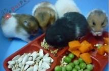 phan-loai-thuc-an-cho-hamster-