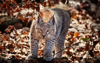 Lynx-linh-mieu-xu-tuyet-6