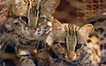 Mèo Rừng1