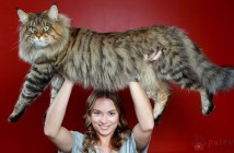 Maine-Coon-6