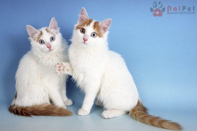 two Turkish Van kittens on blue background
