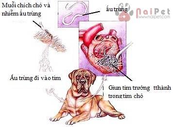 benh-giun-tim-o-cho-dirofilaria-immitis-1