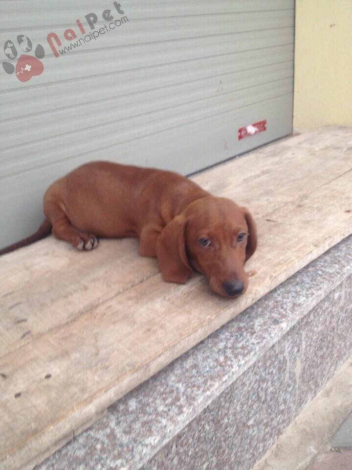 0182-shin-duchshund-trong-giu-thu-cung-naipet