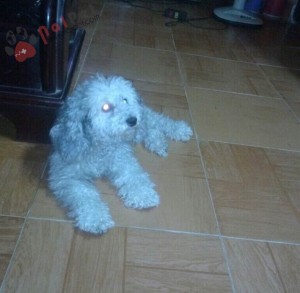 0215-bon-poodle-trong-giu-thu-cung-nai-pet