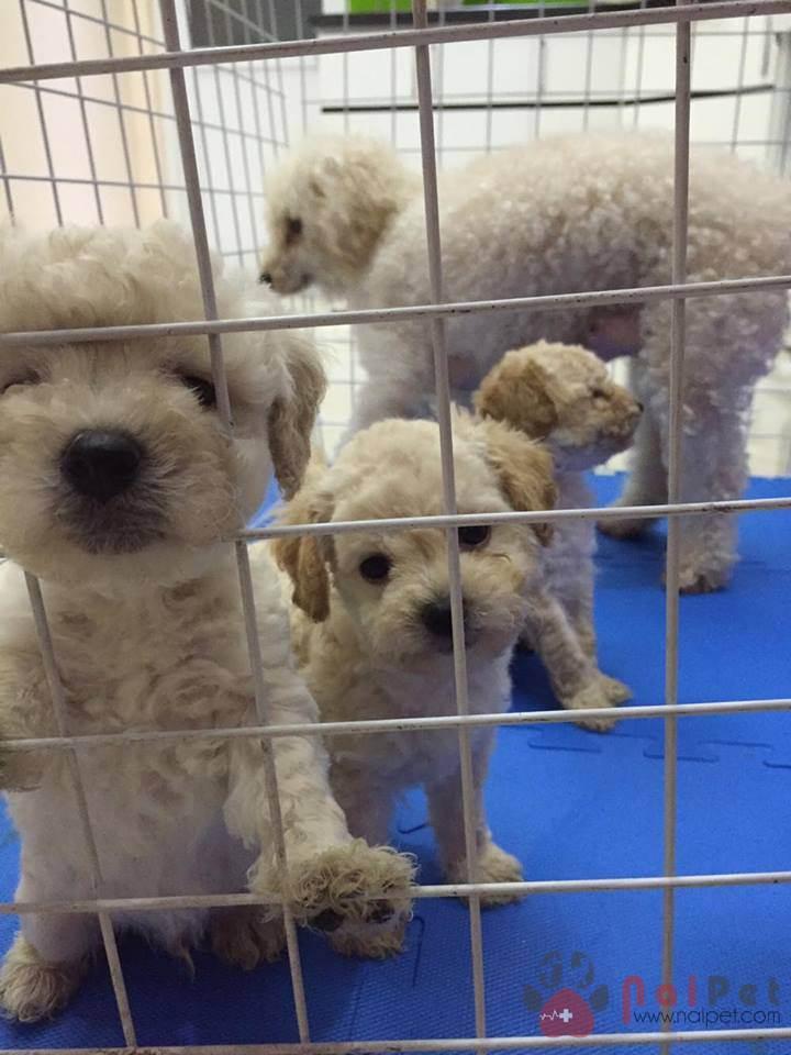 0379-0380-0381-0382-poodle-trong-giu-thu-cung-nai-pet