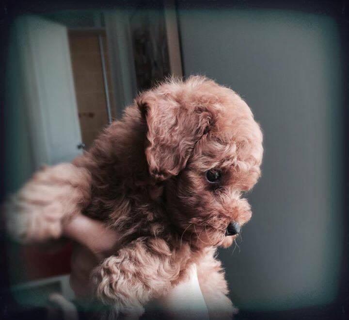 0418-bong-poodle-trong-giu-thu-cung-nai-pet