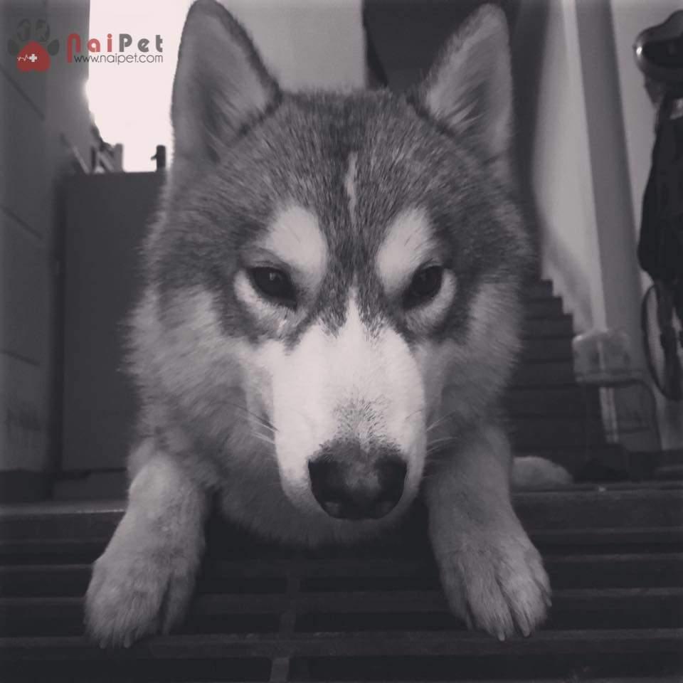 0436-bon-husky-trong-giu-thu-cung-nai-pet