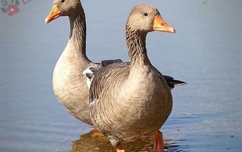 benh-dich-ta-vit-duck-pestis 1