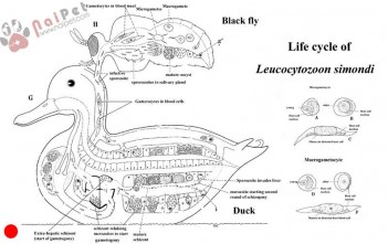 benh-ky-sinh-trung-leucocytozoon-o-gia-cam-thuy-cam