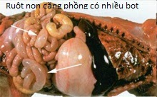 benh-viem-da-day-ruot-truyen-nhiem-transmissible-gastroenteritis-tge 1