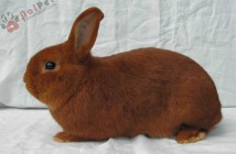 hoi-dap-ve-benh-rcd-o-tho-rabbit-calicivirous-disease