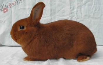 hoi-dap-ve-benh-rcd-o-tho-rabbit-calicivirous-disease