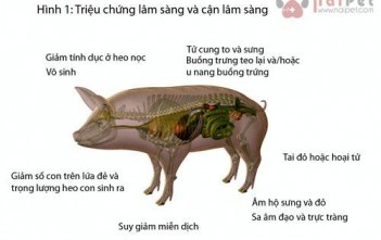 zeralenone-lam-giam-hap-thu-dinh-duong-o-heo-con 6